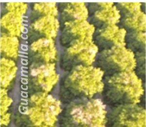 cultivos de arboles frutales