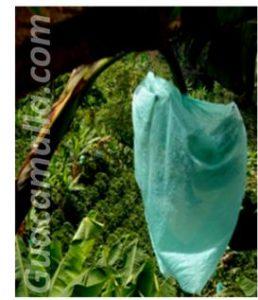 Bolsa plástica colocada sobre el racimo de un platano