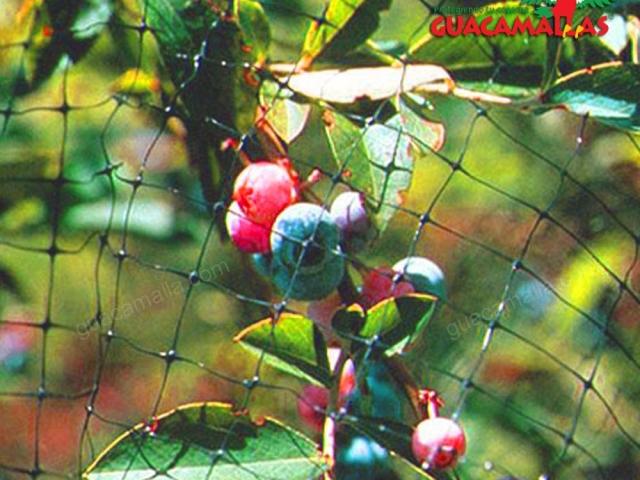 Evite la perdida de frutos con Control de Aves GUACAMALLA